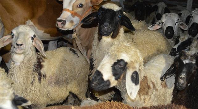 Aç kalan kurtlar 24 koyunu telef etti