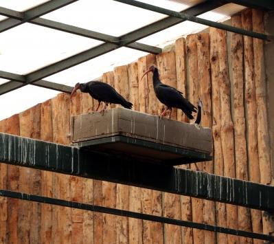 Hayvanat bahçesi kelaynakların doğal yaşam alanı oldu