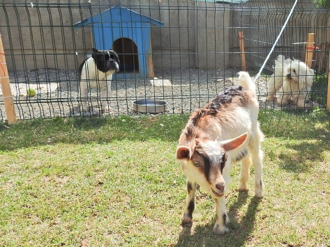 Annesini doğumdan 2 gün sonra kaybeden yavru keçiye evlerinde bakıyorlar