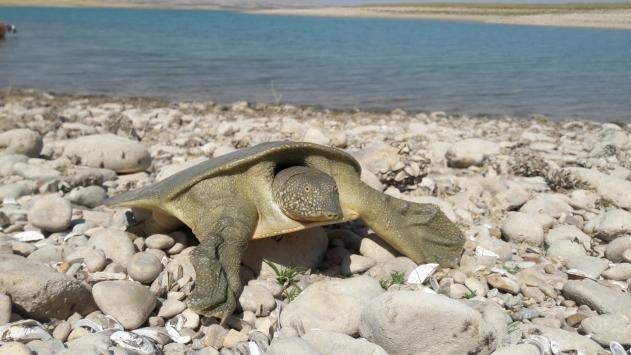 Adıyamanda nesli tükenme tehlikesi altında olan Fırat kaplumbağası görüldü