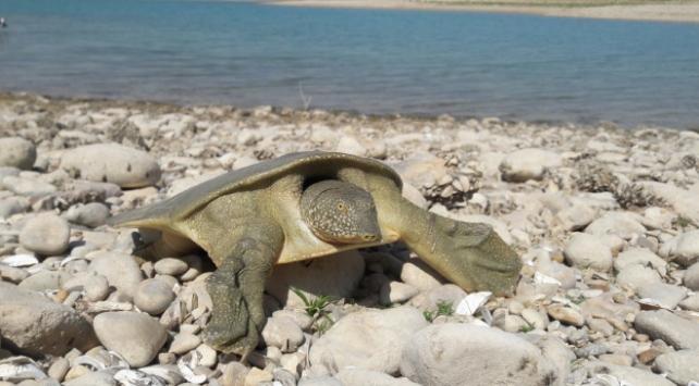 Mezopotamyada yaşayan Fırat kaplumbağası görüldü