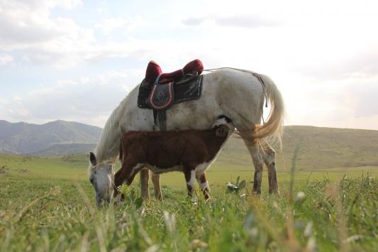Sivasta annesiz danayı at emziriyor
