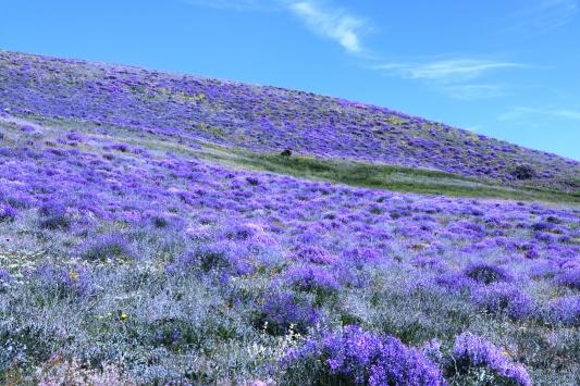 Ağrı Dağıın mor çiçekleri