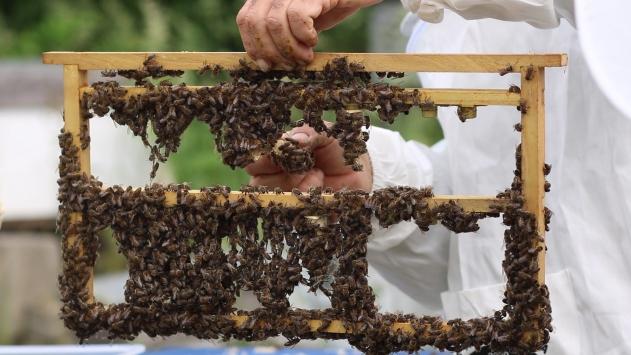 Katılımlı Arıcılık Projesinde oğul arı üretimi başladı