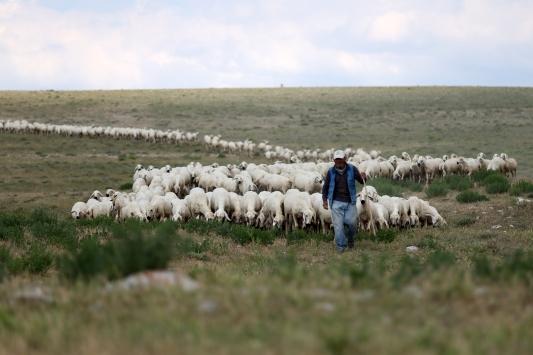 Sivasın markası Kangal Akkaraman koyununa talep artıyor