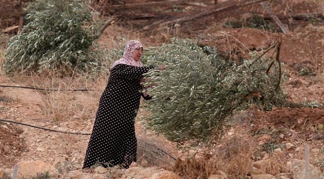 İsrail askerleri Batı Şeriada Filistinlilere ait zeytin ağaçlarını söktü