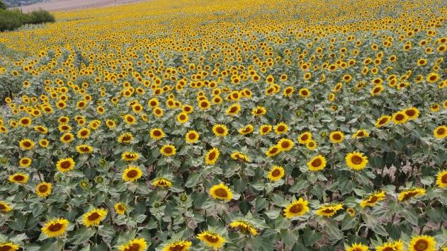 Samsunda açan ayçiçekleri Vezirköprü Ovasını sarıya boyadı