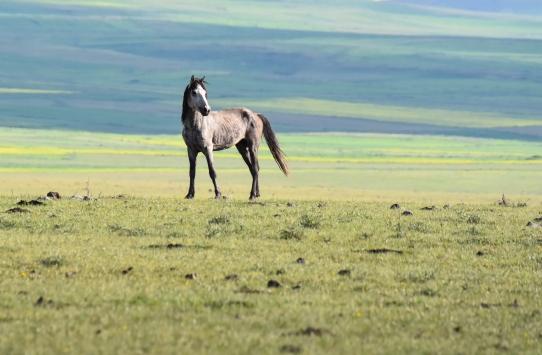 Yahni Dağında doğada otlatılan atlar ilgi çekiyor