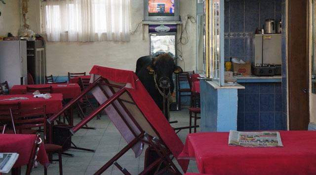 Boğa Kahvehaneyi Birbirine Kattı