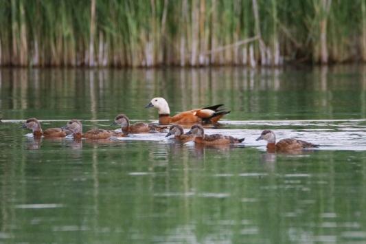Angıt kuşları Ağrı Dağı Milli Parkına da sadık kaldı