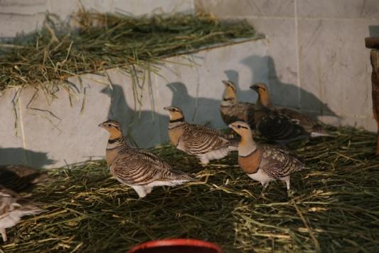 Şanlıurfada tedavisi tamamlanan kılkuyruk bağırtlak kuşları doğaya bırakıldı