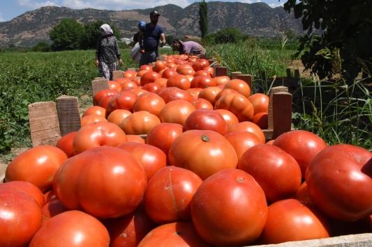 İncirliovada domates hasadı başladı