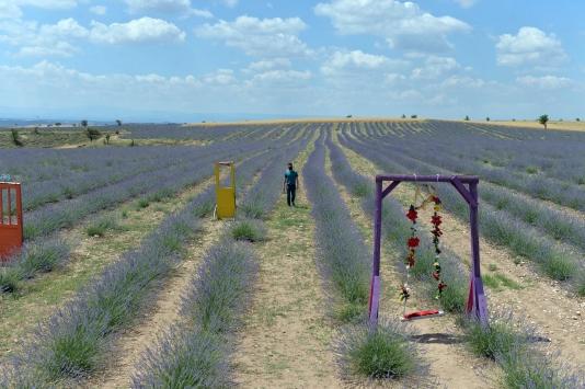 Uşakta bir çiftçi kamu kurumlarının desteğiyle 55 dönüme lavanta bahçesi kurdu
