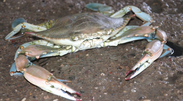 Balıkçıların korkulu rüyası ihracat ürünü oldu
