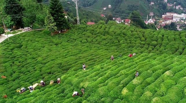 Yaş çay budama bedelleri üreticinin hesaplarına yatırıldı
