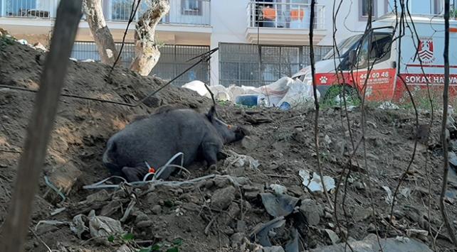 Bodrumda kapana yakalanan domuz, ekiplerce kurtarıldı