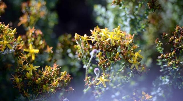 Safranboluda altın sarısı çiçekli kantaronun hasadı başladı