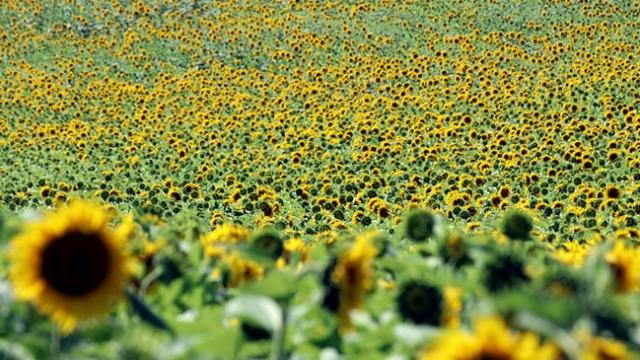 Trakya'da tarlalar sarıyla süslendi
