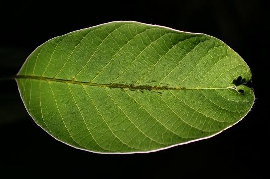 Ceviz ağaçlarını istila eden böcekler meyve gelişimini engelliyor