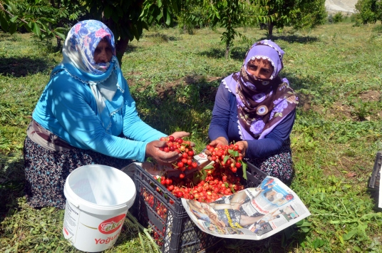 Muşta 72 yaşındaki Saliha Yuvanç devlet desteğiyle kiraz üreticisi oldu