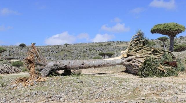 Yemenli Müsteşar Rahbi: Sokotradaki ender ağaçlar BAEye kaçırılıyor