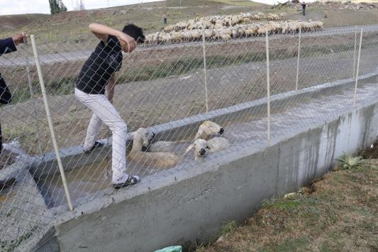 Hayvanlarını koyun banyosu ile kenelerden arındırıyorlar