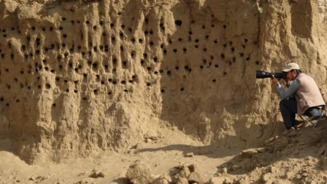 Kum tepeleri kırlangıçlara yuva oldu
