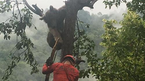 Ağaçta mahsur kalan ayıyı AKUT ekipleri kurtardı