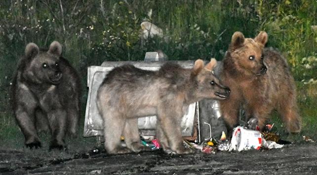 Aç kalan bozayılar mahallelerin çöp konteynerlerine dadandı