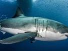 Avustralyada köpek balığı saldırısı: 1 ölü