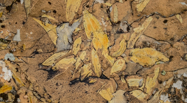 Palmiye fosilleri iddiayı güçlendirdi: Ağrı Dağı geçmişte deniz kenarıydı