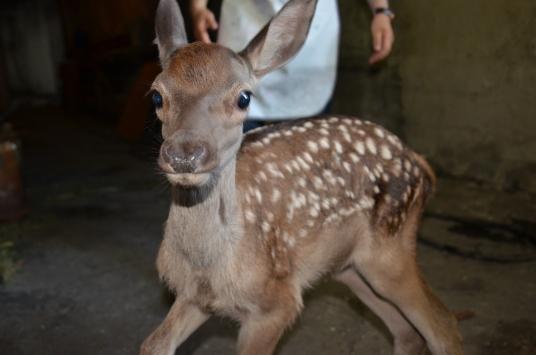 Kastamonuda Belediye Başkanının bulduğu kızıl geyik yavrusu korumaya alındı