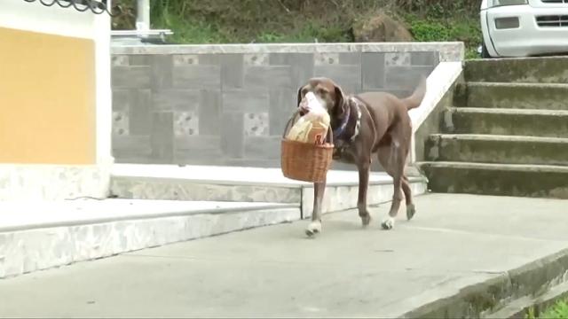Market siparişlerini teslim eden köpek