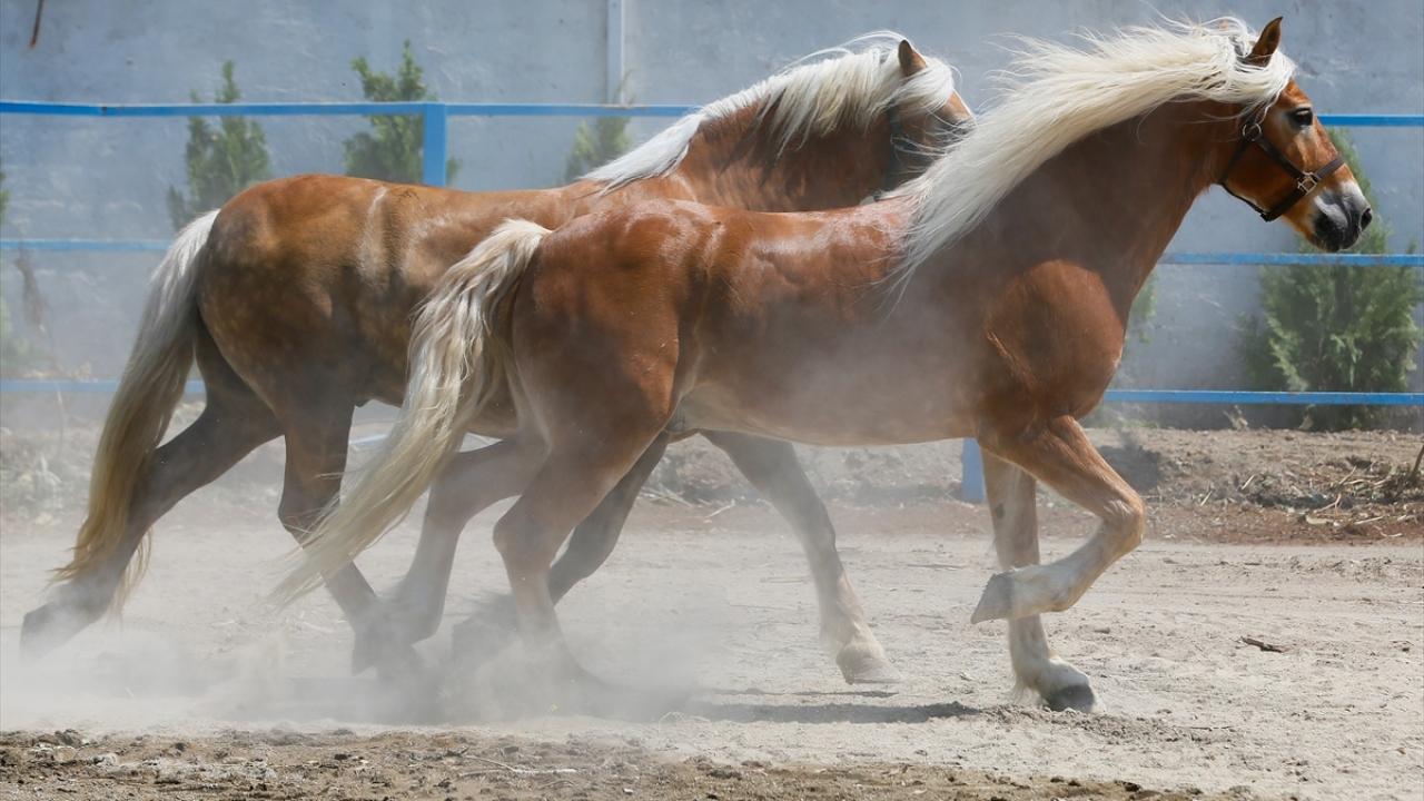 """Faytondan kurtulan atların yeni görevi """"güvenlik"""""""