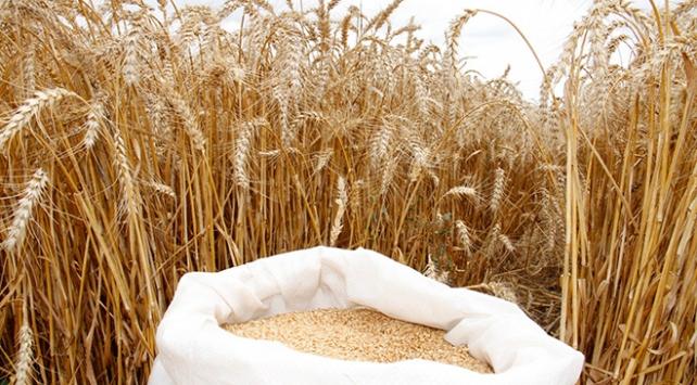 Yerli ekmeklik buğday tohumu 'Kirve' tescillendi