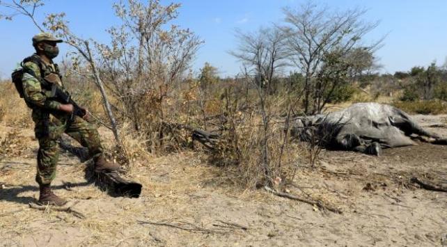 Bostwanada şüpheli fil ölümleri devam ediyor
