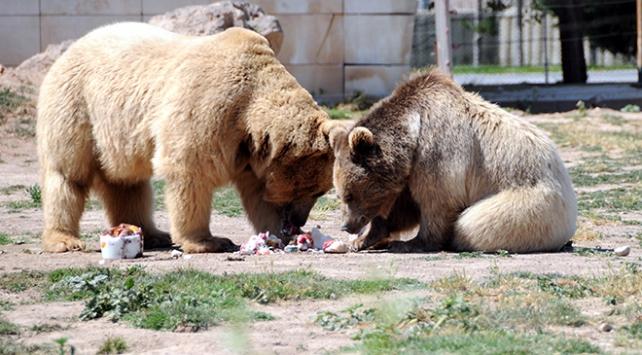 Sıcaktan bunalan ayılar, buzlu meyve kokteyli ile serinliyor