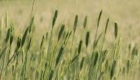 '10 bin yıllık' siyez buğdayına coğrafi işaret