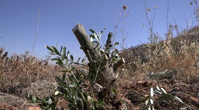 Yahudi yerleşimciler Filistinlilere ait onlarca zeytin ağacını kesti