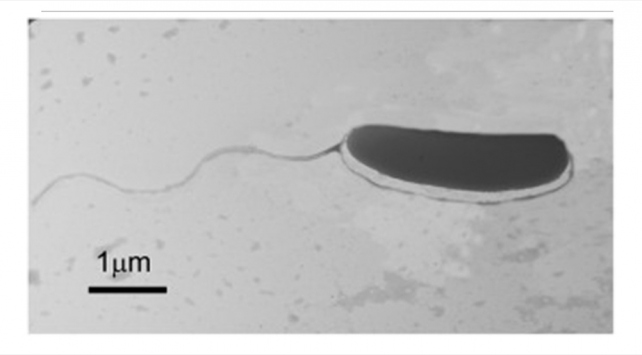 Sivasta yeni bir bakteri türü keşfedildi: Pseudomonas sivasensis