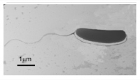Sivas'ta yeni bir bakteri türü keşfedildi: Pseudomonas sivasensis