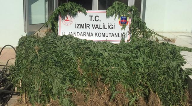 İzmirde 3 bin 210 kök Hint keneviri ele geçirildi