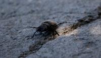 Nadir görülen 'geyik böceği' Tokat'ta ortaya çıktı