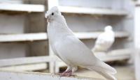 Bayburt güvercini için belgesel çekilecek