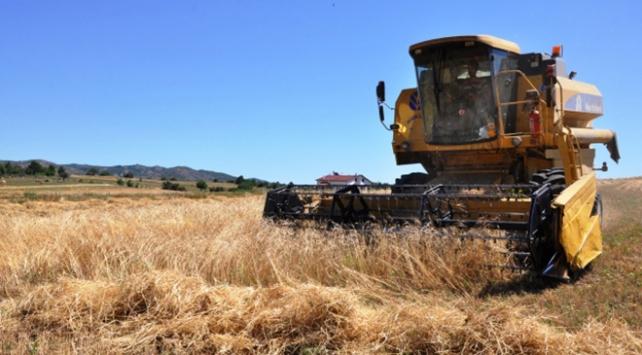Tekirdağda 10 bin yıllık siyez buğdayının hasadı yapıldı