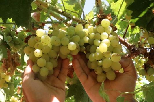 Şanlıurfada yok olmaya yüz tutmuş 23 üzüm çeşidi üretime kazandırılacak