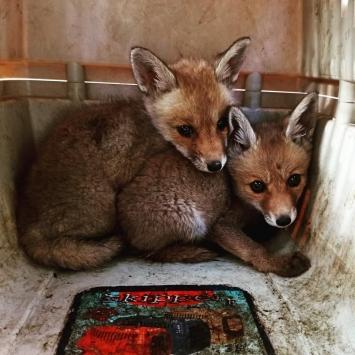 Şanlıurfada bulunan tilki yavruları doğaya bırakıldı
