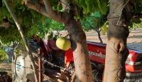 Bu ağacın meyvesi gövdesinde