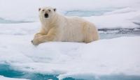 Kutup ayılarının nesli bu yüzyılda tükenebilir