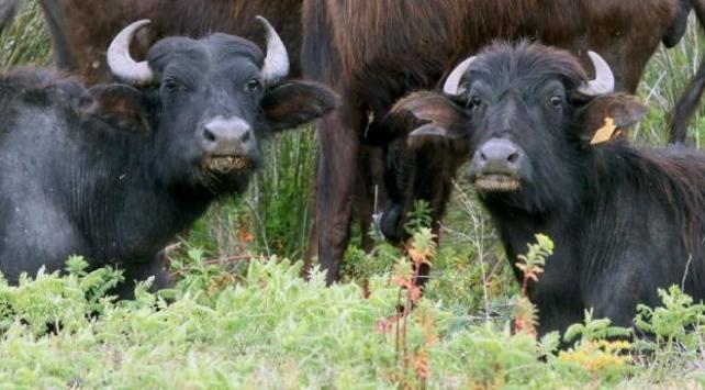 Suni tohumlama ile mandaların et ve süt üretimi artırılacak